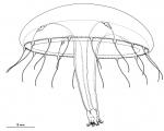 Eirene parvitentaculata from Bouillon (1984b)