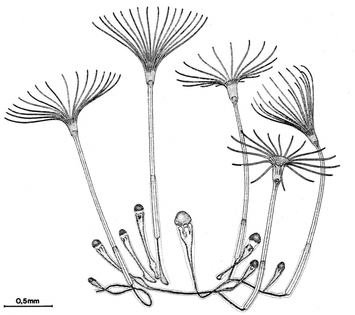 Malagazzia condensum polyp stage from Bouillon (1984b)