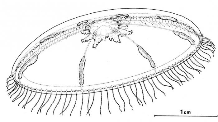 Octophialucium aphrodite from Bouillon (1984b)
