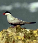 Antarctic Tern (Sterna vittata)
