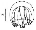 Corymorpha gemmifera from Bouillon (1978c)