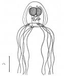 Bougainvillia aurantiaca from Bouillon (1980)