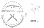 Laodicea undulata from Mediterranean