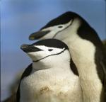 Pygoscelis antarctica