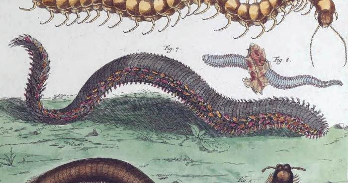 Millepeda marina amboinensis (via BHL)