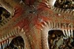 Astropecten aranciacus