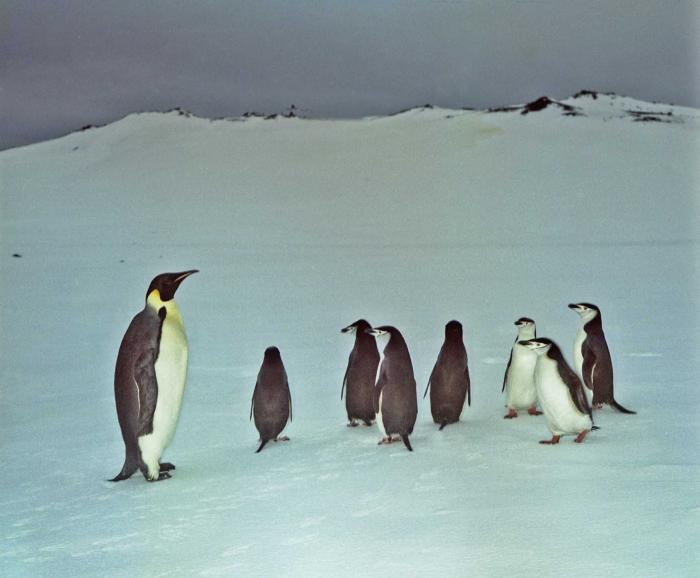 Aptenodytes forsteri & Pygoscelis antarctica