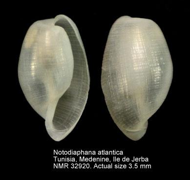 Notodiaphana atlantica