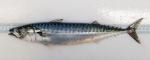 Scomber scombrus - Atlantic mackerel (adult)