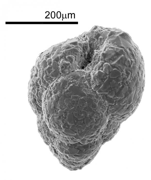 Eggerelloides scaber (Williamson, 1858)