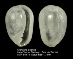 Granulina ocarina