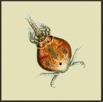 Parartotrogus richardi