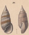 Rissoina myosoroides Schwartz von Mohrenstern, 1860