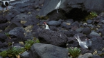 Antarctic Terns_1