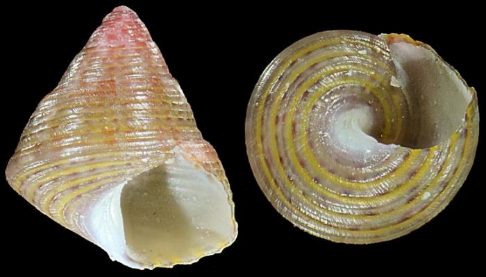 Jujubinus alboranensis Smriglio, Mariottini & Oliverio, 2015