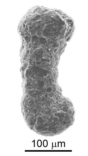 Ammobaculites exiguus Cushman & Brönnimann, 1948