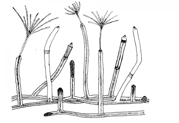 Cosmetira pilosella polyp from Werner (1984)