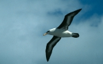 Black-Browed Albatross04