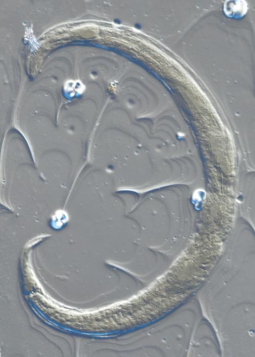 Lectotype female of Camacolaimus falklandiae