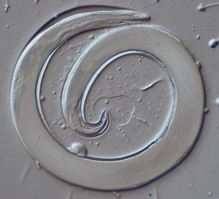 Lectotype female of Camacolaimus propinquus