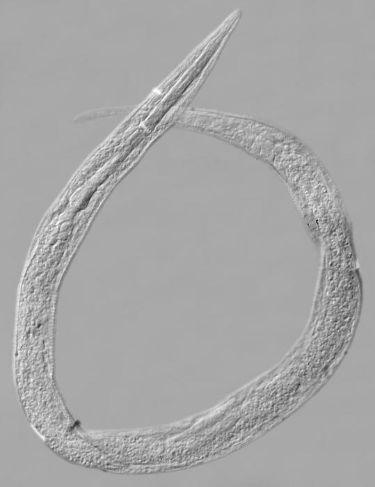 Paralectotype female of Leptolaimus parelegans