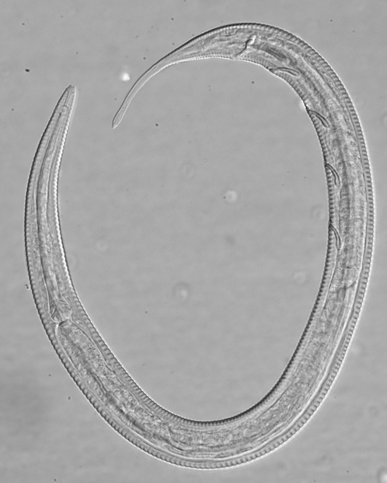 Holotype male of Leptolaimus octavus