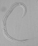 Paratype female of Leptolaimus octavus