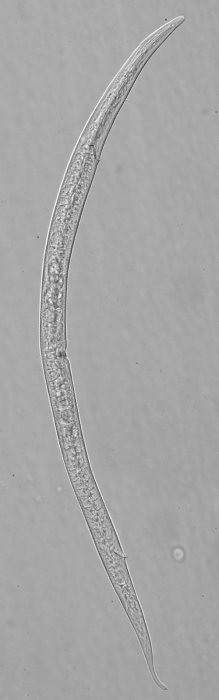 Paratype female of Leptolaimus quintus