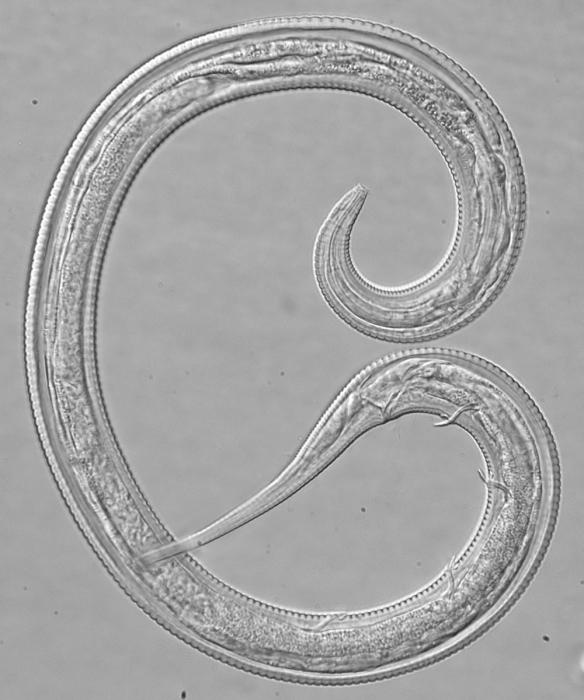 Holotype male of Leptolaimus septimus
