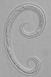 Paratype female of Leptolaimus septimus
