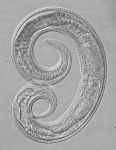 Paratype female of Leptolaimus sextus