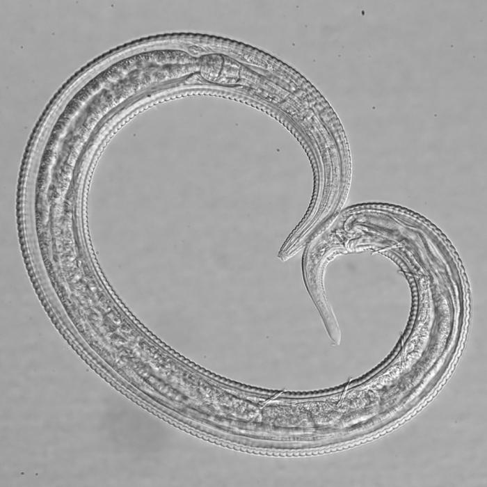 Paratype male of Leptolaimus sextus