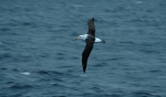 Black-Browed Albatross05