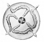 Cyclocanna welshi from Bigelow (1918)