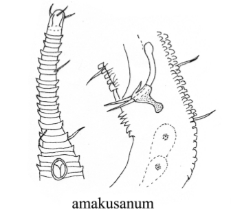 Rhynchonema amakusanum