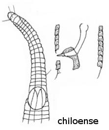 Rhynchonema chiloense
