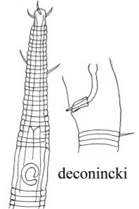 Rhynchonema deconincki