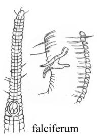Rhynchonema falciferum