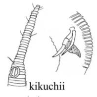 Rhynchonema kikuchii