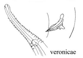 Rhynchonema veronicae