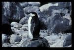 Chinstrap Penguin [orig]_1