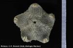 Pteraster spinosissimus