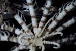 Antedon serripinna, type specimen, aboral view