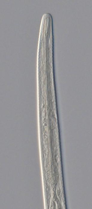 Holotype male anterior end of Antomicron lorenzeni