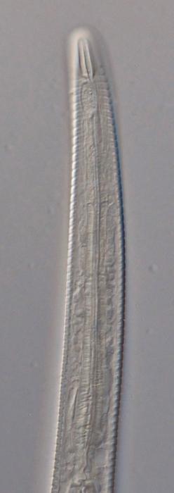 Paratype female anterior end of Antomicron lorenzeni