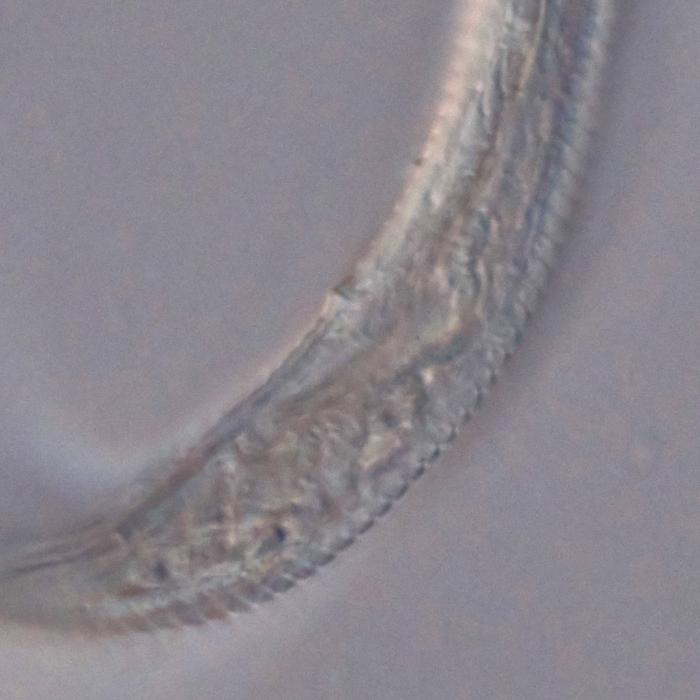 Paratype male posterior end of Domorganus suecicus