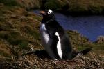 Gentoo Penguin (A3)CS2_1