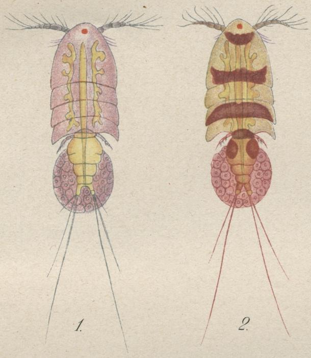 Psamathe longicauda from Philippi 1840