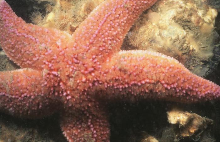 Common starfish - Asterias rubens Linnaeus, 1758