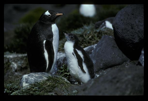 Gentoo Penguin + chick [orig]